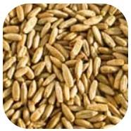 Extrait de grains davoine