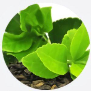 Extract van groene theeblaadjes