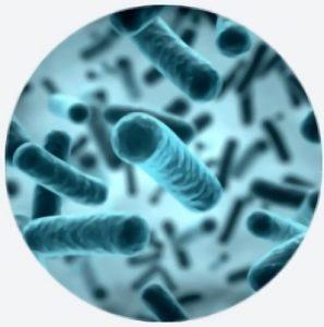 Probiotische bacteriën LactoSpore