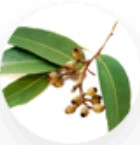 eucalyptus bladeren