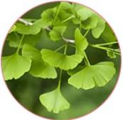 Ginkgo biloba blad extract