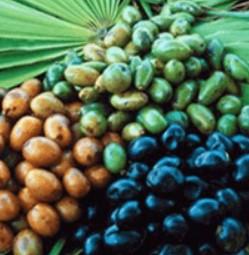 Extrait de fruit de palmier du Sabal