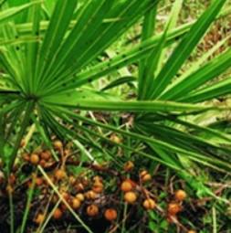 Extrait de palmier nain